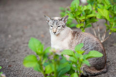 Point de tabby de sceau siamois Images libres de droits