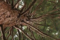 Point de vue de séquoia Photo stock