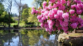 Point Defiance park in Tacoma, WA. USA. Pink rhododendron near pond. Spring royalty free stock photos