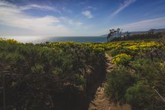 Point Dume Spring Wildflowers. Beautiful yellow wildflowers blooming and covering Point Dume with a hiking trail running through the patch of flowers, Malibu Royalty Free Stock Images