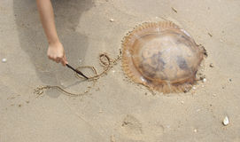 Point jelly fish moving funny have a tail Stock Image