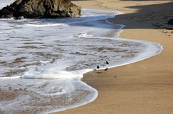Point Montana, California: Birds on Beach Stock Images