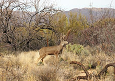 4 point mule deer. 4-point mule deer stands alertly in the Saguaro National Park royalty free stock images