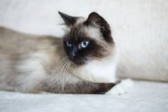 Point Sacred Birman cat Stock Photos