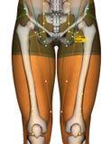 Point ST31 Biguan, méridien d'acuponcture d'estomac illustration stock
