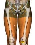 Point ST35 Dubi, méridien d'acuponcture d'estomac illustration de vecteur
