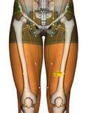 Point ST32 Futu, méridien d'acuponcture d'estomac illustration libre de droits