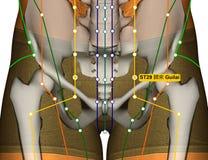Point ST29 Guilai, méridien d'acuponcture d'estomac illustration de vecteur