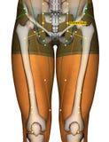 Point ST29 Guilai, méridien d'acuponcture d'estomac illustration stock