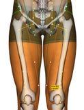 Point ST34 Liangqiu, méridien d'acuponcture d'estomac illustration de vecteur