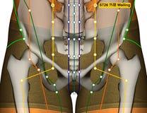 Point ST26 pleurant, méridien d'acuponcture d'estomac illustration stock