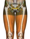 Point ST30 Qichong, méridien d'acuponcture d'estomac illustration de vecteur