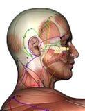 Point ST2 Sibai, d'acuponcture illustration 3D Images libres de droits