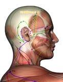 Point ST8 Touwei, d'acuponcture illustration 3D Photographie stock libre de droits