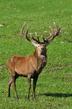 16 point stag Royalty Free Stock Images