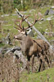 14-point stag Royalty Free Stock Photo