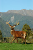 16 point stag Royalty Free Stock Photography