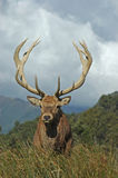 13 point stag Stock Photo