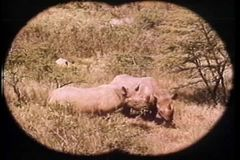Point of view through binoculars of rhinos grazing in Africa