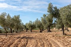 Point of view of a field of olive trees stock photo