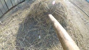 Point of view of man with hay fork shoveling hay in a barn at the country side - stock video