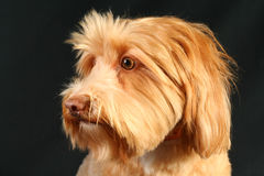 Pointage Griffon Wirehaired Images libres de droits