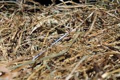 Pointeau dans un haystack Photographie stock