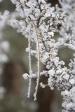 Pointeau de pin de revêtement de givre dans le buisson de groseille à maquereau Photo libre de droits