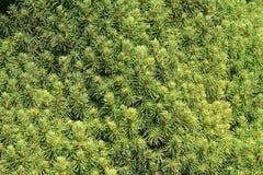 Pointeaux d'arbre conifére à l'orientation Images libres de droits