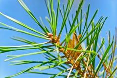 Pointeaux d'arbre de pin Photo stock