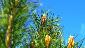 Pointeaux d'un arbre de pin clips vidéos