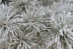 Pointeaux de pin dans le gel Photographie stock libre de droits