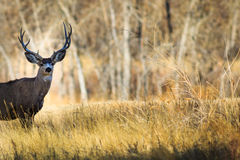5-pointed buck deer in meadow royalty free stock photography