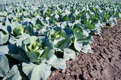 Pointed cabbage field. Landcape view of a pointed cabbage fieldd stock photos