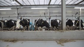 Cows stay in stalls and chew hay before milking at farm
