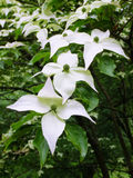 Pointed Dogwood Royalty Free Stock Photography