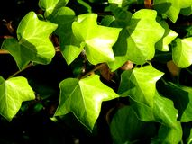 Pointed, Green Leaves in the Sunshine. Green leaves look bright in the sunshine Royalty Free Stock Photo
