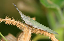 Pointed head grasshopper Royalty Free Stock Images