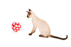 Pointed Siamese with ball Royalty Free Stock Image