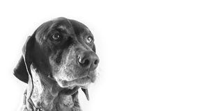 Pointer Bird Dog. Isolated Black and White Pointer Bird Dog stock photography