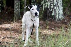 Free Pointer Bulldog Mixed Breed Mutt Dog Pet Adoption Photo Stock Photography - 121744372