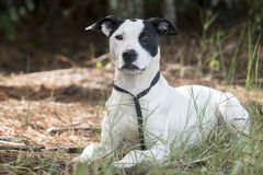 Pointer Bulldog mixed breed mutt dog pet adoption photo. Young 9 month old male white with black patches Pointer and Pitbull mixed breed dog outdoors on leash Stock Image