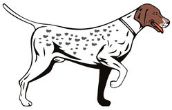 Pointer dog Royalty Free Stock Images
