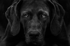 Pointer dog- Black and White. Pointer dog kurtshaar - Black and White Royalty Free Stock Photos