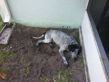 Pointer Dog Laying in Dirt Royalty Free Stock Images