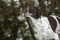 Pointer dog. Listening to the birds singing in the forest in spring stock image