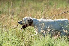 Pointer dog with long hair and open mouth royalty free stock image