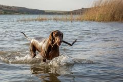 Pointer dog playing fetch in water. Brown Pointer dog in shallow water, splashing water with a stick in its mouth royalty free stock photography