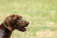Pointer dog portrait Royalty Free Stock Photography