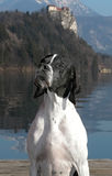 Pointer dog posing beside Lake Bled Stock Photo